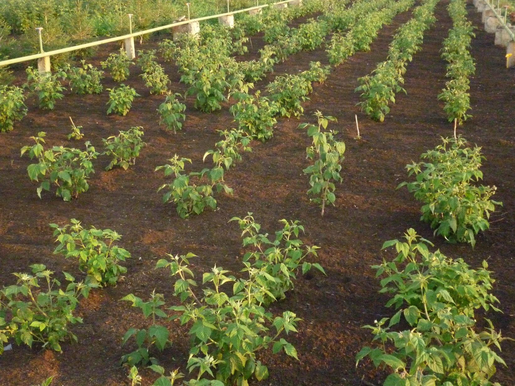 Способ выращивания малины фото